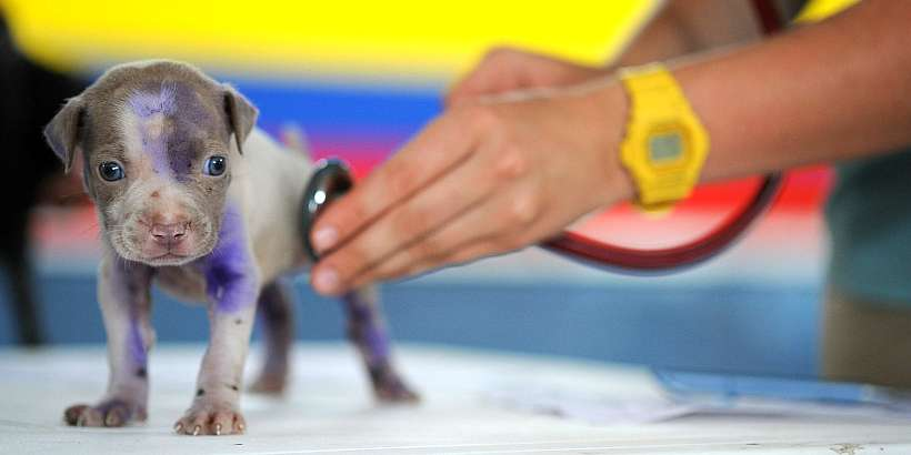 Puppy being examined by veterinarian